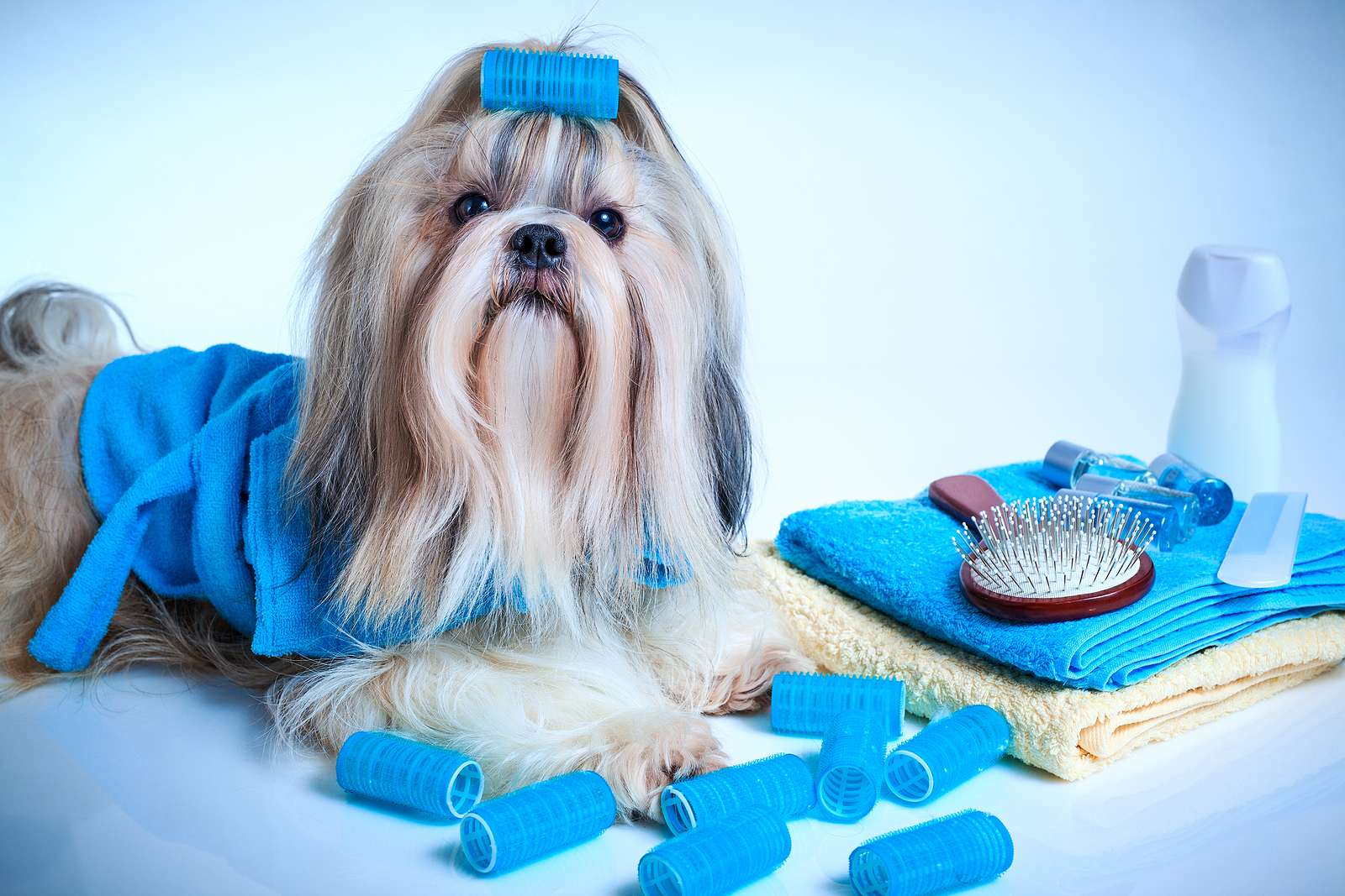 how to groom a shih tzu puppy