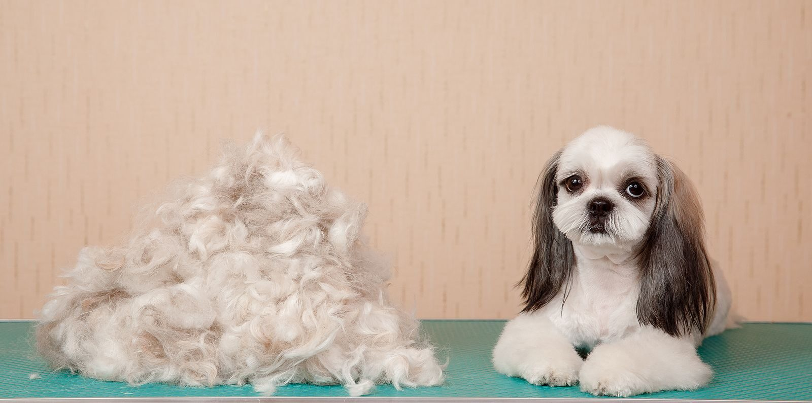 How Much Do Shih Tzus Shed