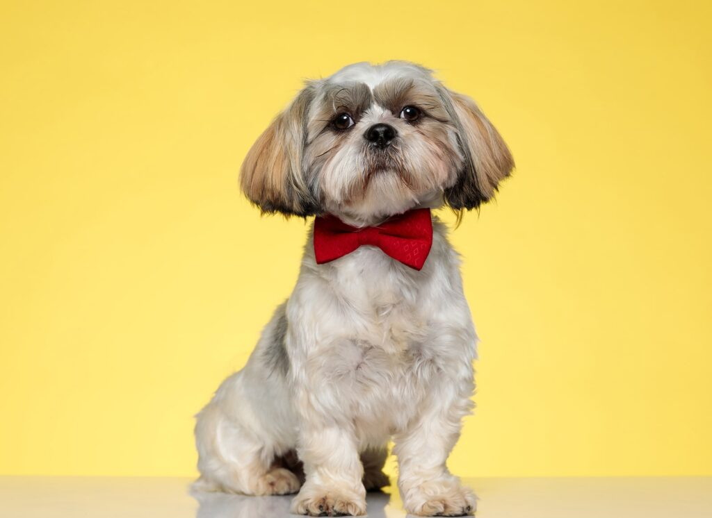 what kind of dog is shih tzu