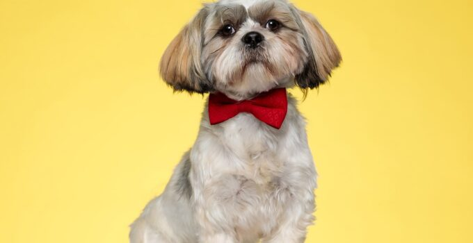 what kind of dog is shih tzu