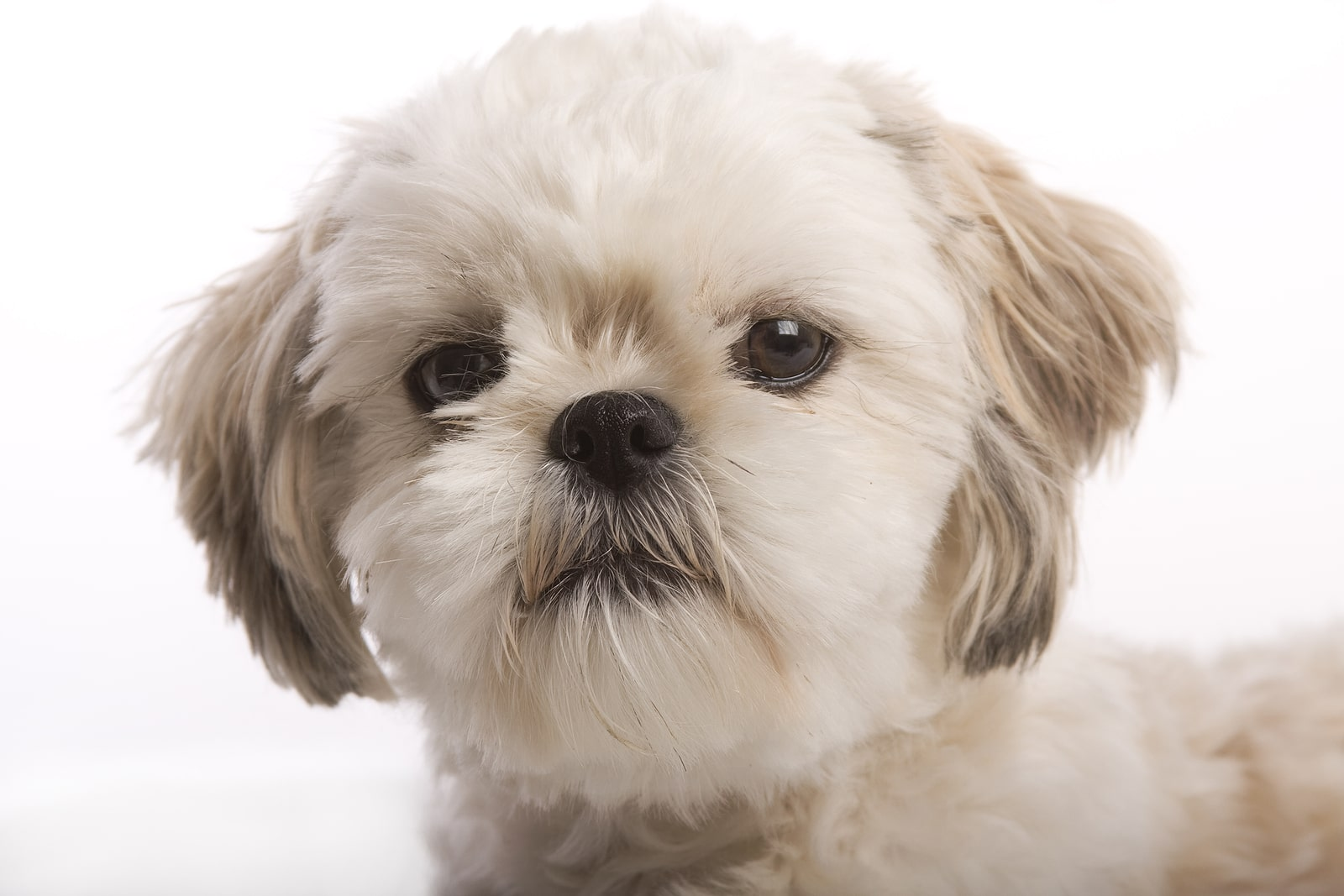 How To Clean Shih Tzu's Eyes And Tear Stains